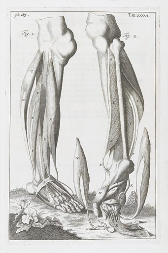 Anatomical illustration showing muscles of the leg and foot. Anatomical illustration showing muscles and tendons of the lower leg and foot. Work ID: ktwxtdfn.