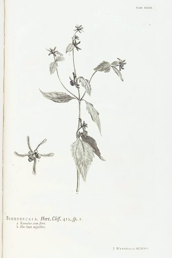 Siegesbeckia from Hortus Cliffortianus… 1738. Work ID: um5xs6rz.