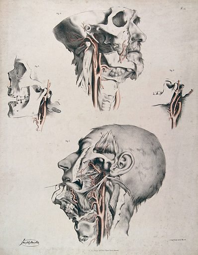 The circulatory system: four dissections of the male face, neck and skull, with arteries and blood vessels in red. Coloured lithograph by J Maclise, 1841/1844. Created 1841/1844. Blood – Circulation. Human anatomy. Contributors: Joseph. Maclise. Work ID: kctn684b.