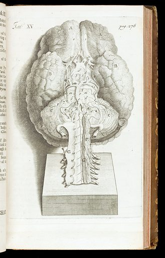 Illustration showing the base of the brain. Work ID: x3yfg4g7.