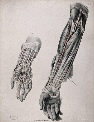 The circulatory system: two dissections of the arm and hand, with arteries and blood vessels indicated in red. Coloured lithograph by J Maclise, 1841/1844. Created 1841/1844. Blood – Circulation. Human anatomy. Contributors: Joseph. Maclise. Work ID: fujf58jw.