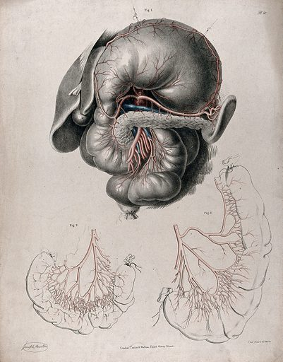 The circulatory system: dissection of the stomach and intestines, with the arteries and veins indicated in red and blue. Coloured lithograph by J Maclise, 1841/1844. Created 1841/1844. Blood – Circulation. Human anatomy. Contributors: Joseph. Maclise. Work ID: k3vzwshn.