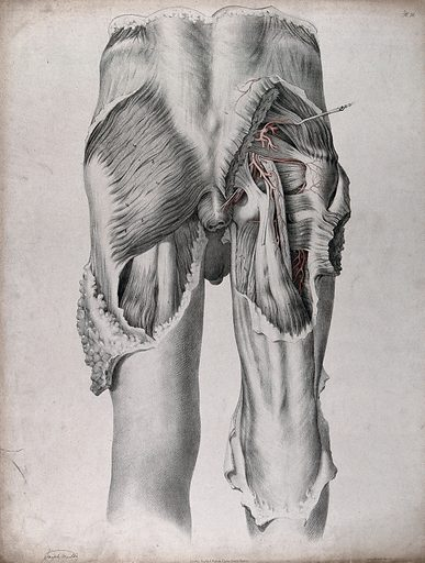 The circulatory system: dissection of the buttocks and upper thighs of a man, seen from behind, with blood vessels indicated in red. Coloured lithograph by J Maclise, 1841/1844. Created 1841/1844. Blood – Circulation. Human anatomy. Contributors: Joseph. Maclise. Work ID: vtdqz2zp.