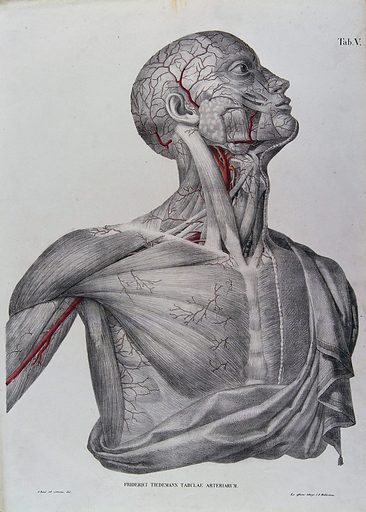 Head, neck, shoulder and chest of a male écorché, with arteries and blood vessels indicated in red. Coloured lithograph by J Roux, 1822. Created 1822. Human anatomy. Contributors: Jacob Chr. Roux; Friedrich Tiedemann (1781–1861). Work ID: yanxa855.