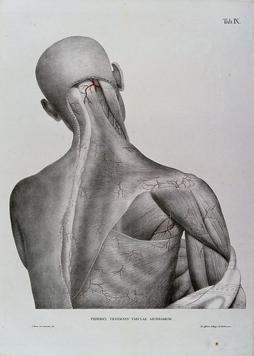 Head, shoulder and back of an écorché figure, seen from behind, with the arteries and blood vessels indicated in red. Coloured lithograph by J Roux, 1822. Created 1822. Human anatomy. Contributors: Jacob Chr. Roux; Friedrich Tiedemann (1781–1861). Work ID: j424k8k5.