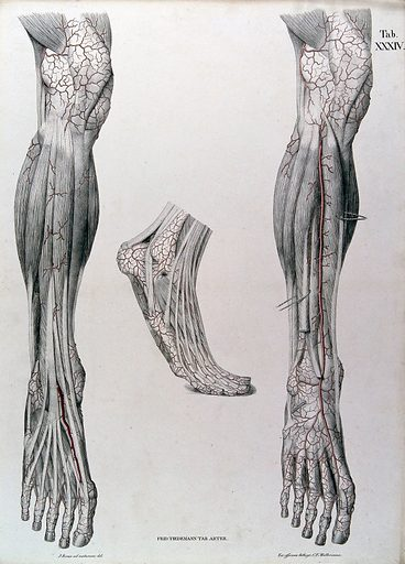 Dissections of the lower leg and the foot, front view: three figures, with the arteries and blood vessels indicated in red. Coloured lithograph by J Roux, 1822. Created 1822. Human anatomy. Contributors: Jacob Chr. Roux; Friedrich Tiedemann (1781–1861). Work ID: qdnjyfgz.