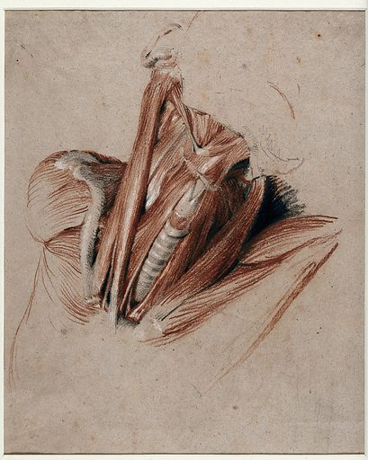 Neck of an écorché figure. Chalk drawing by C Landseer, ca 1825. Created 1825. Human anatomy. Contributors: Charles Landseer (1799 or 1800–1879). Work ID: m4t287er.