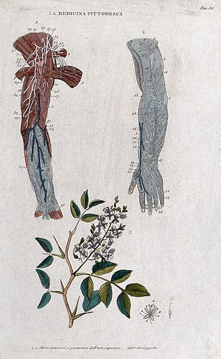 Top, two forearms showing nerves; bottom, plant (Coppaibe ?). Coloured engraving, 1834–1837. Work ID: d4gs3wnq.