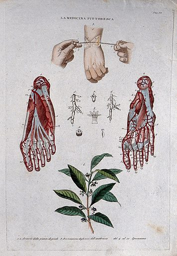 Top, hand; centre, nerves of the foot; bottom, plant. Coloured engraving, 1834–1837. Work ID: yc2ebnyt.