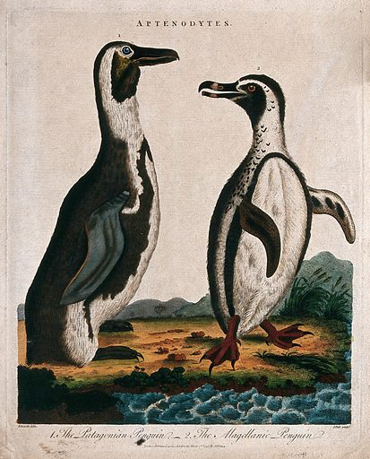 Left, the Patagonian penguin; right, the magellanic penguin. Coloured etching by J Pass after Edwards. Created 18 March 1797. Contributors: George Edwards (1694–1773); J Pass. Work ID: wk3xkpwp.