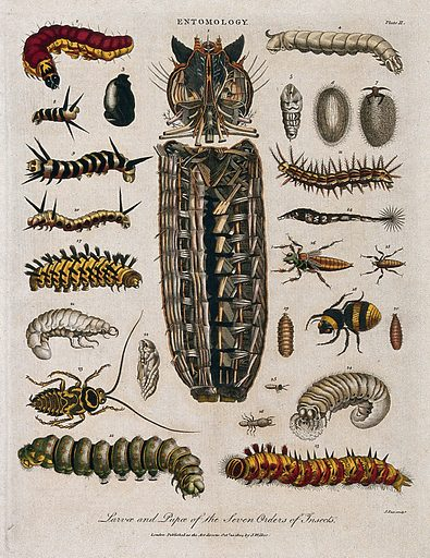 Species of larva. Coloured etching by J Pass, 20 October 1804. Work ID: ggzvx8fv.