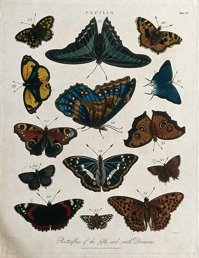 Species of butterflies. Coloured etching by J Pass, 1821. Work ID: e5qgc2dj.