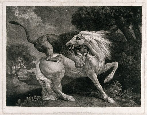 A horse attacked by a lion. Soft ground etching by G Stubbs, 1788. Created 1788. Horses. Contributors: George Stubbs (1724–1806). Work ID: nwssjzkj.
