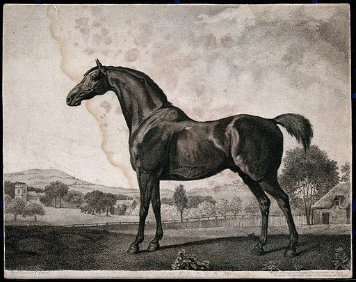 The racehorse Sweet William in a landscape. Stipple print by GT Stubbs after G Stubbs. Created 1800. Sweet William (Race horse). Contributors: George Stubbs (1724–1806); George Townley Stubbs (1756–1815). Work ID: q5wxenp6.