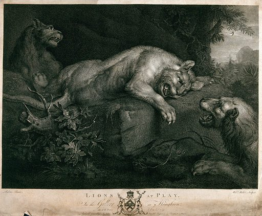 Two lions playing; lion in the background. Engraving by W Walker after PP Rubens, 1 June 1782. Created 1 June 1782. Contributors: Peter Paul Rubens (1577–1640); William Walker (1729–1793). Work ID: b23h4muw.