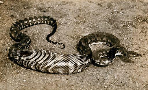 Australian snake: a diamond python (Python spilotes). Photograph, 1900/1920. Created 1900–1920. Work ID: yzh2qvg6.