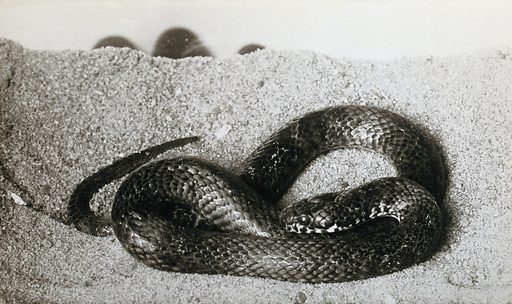 Australian snake: ornamental variety (Denisonia maculata). Photograph, 1900/1920. Created 1900–1920. Work ID: f9ejzyay.