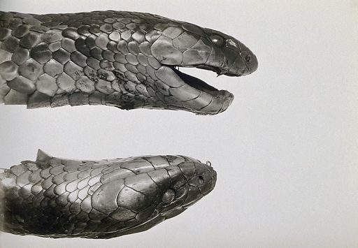 Australian snakes (Pseudechis australis): the heads of two snakes. Photograph, 1900/1920. Created 1900–1920. Work ID: zkbutbzp.