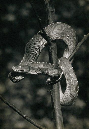 Green tree snake (Chondropython viridis), coiled around a tree. Photograph, 1900/1920. Created 1900–1920. Work ID: ubvwr9jn.