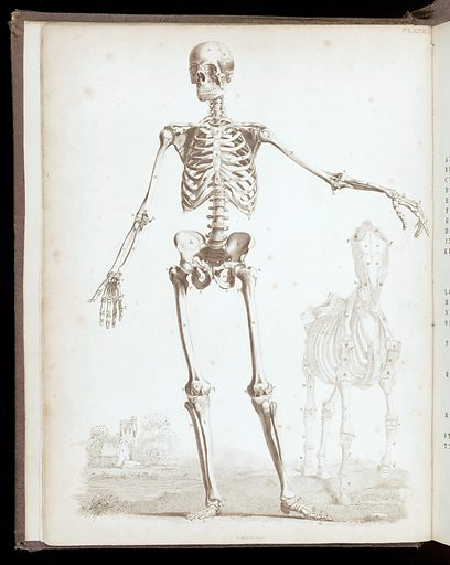 Male skeleton with horse. Work ID: c9ashunb.
