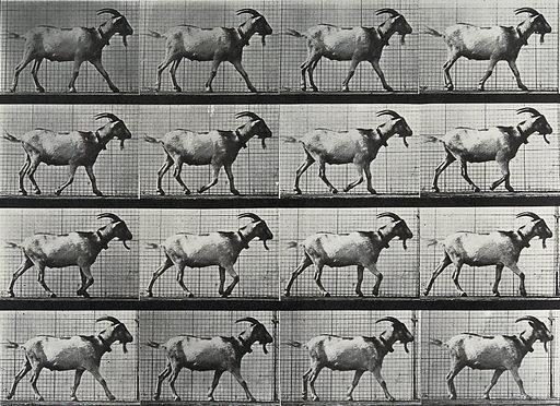 A goat walking. Collotype after Eadweard Muybridge, 1887. Created 1887. Contributors: Eadweard Muybridge (1830–1904); University of Pennsylvania. Work ID: j9utgadj.