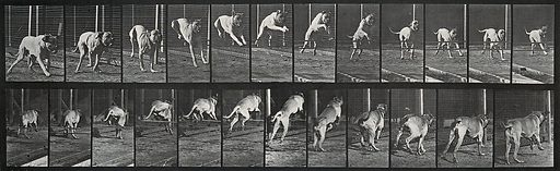 A dog jumping a hurdle. Photogravure after Eadweard Muybridge, 1887. Sequence. Photograph. Contributors: Eadweard Muybridge; University of Pennsylvania. Work ID: dx4j7dak.