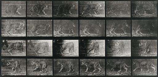 A leopard walking. Collotype after Eadweard Muybridge, 1887. Created 1887. Contributors: Eadweard Muybridge (1830–1904); University of Pennsylvania. Work ID: w7n8eyh5.