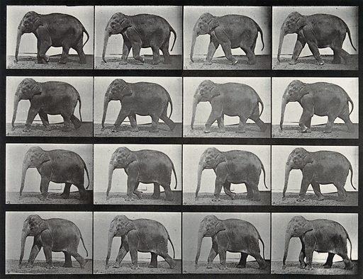 An elephant walking. Collotype after Eadweard Muybridge, 1887. Created 1887. Contributors: Eadweard Muybridge (1830–1904); University of Pennsylvania. Work ID: draq3x3v.