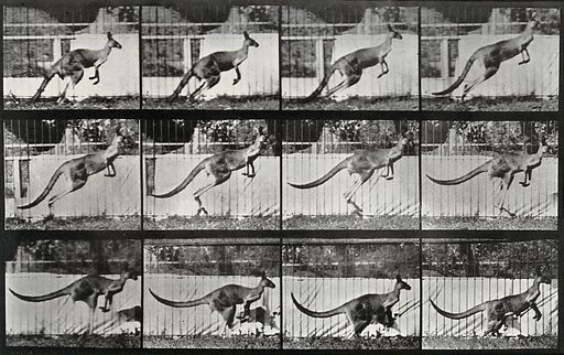 A kangaroo jumping
