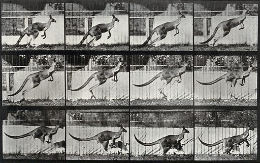 A kangaroo jumping. Collotype after Eadweard Muybridge, 1887. Created 1887. Contributors: Eadweard Muybridge (1830–1904); University of Pennsylvania. Work ID: t8ed6wtj.