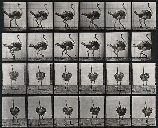 An ostrich walking. Collotype after Eadweard Muybridge, 1887. Created 1887. Contributors: Eadweard Muybridge (1830–1904); University of Pennsylvania. Work ID: fxu6ryun.