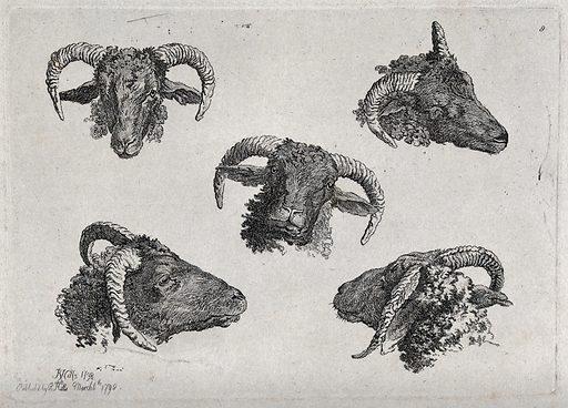 A ram's head: five views. Etching by R Hills, 1798. Created 6 March 1798. Contributors: Robert Hills (1769–1844). Work ID: vxdh3d5g.