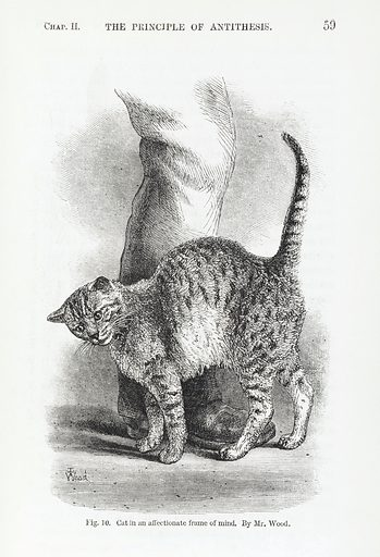 Affectionate cat from Darwin's Expression of Emotions…. Full-page illustration of a Cat in an affectionate frame of mind from Chapter ll, The Principle of antithesis, the second of the three principles of expression. Work ID: vakjtkqe.