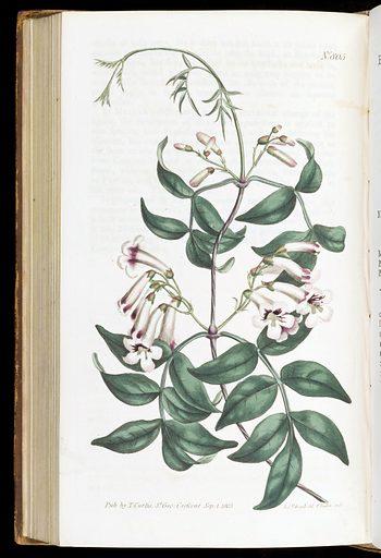 Bignonia Pandorae. Norfolk-Isalnd Trumpet-Flower. (Today Pandorae pandorana). Work ID: crsbg5c6.