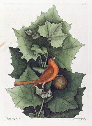 Platanus occidentalis and Muscicapa rubra. Platanus occidentalis (the Western Plane Tree) and Muscicapa rubra (the Summer Redbird). Work ID: yhfbahsh.