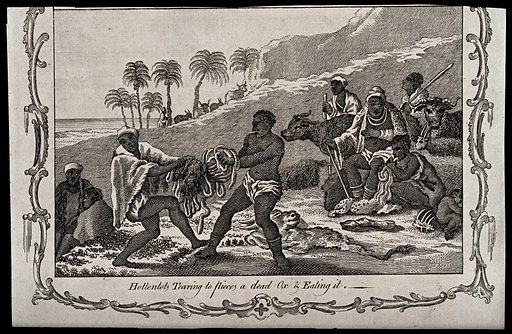 Two Hottentots (South African tribe) are tearing an ox to pieces; four men seated in the background, one of them eating parts of the ox. Engraving, ca 1890. Created 1890?. Work ID: x9yqh3dn.