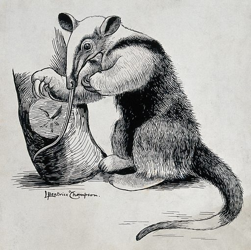 A collared anteater. Ink drawing by L Beatrice Thompson, 1903. Created 7/03 ([uly 1903. Tamandua tetradactyla. Contributors: L Beatrice. Thompson. Work ID: hq63ez3c.