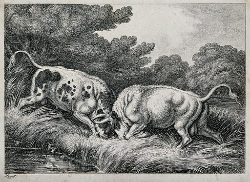 Two bulls fighting by a pond; frogs in the foreground. Etching after Howitt, ca 1850. Created 1850?. Aggressive behaviour in animals. Contributors: Howitt. Work ID: pn4tgcgd.