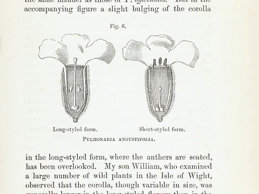 Illustrations of Pulmonaria Angustifolia, both long-styled and short-styled form. Work ID: zh3jfv5k.