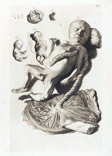 Illustration of male foetus with placenta. Work ID: u2yuqdfr.