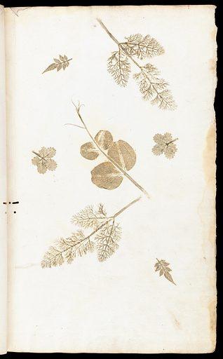 Illustrations of leaves in 'De historia…'. Illustrations of leaves in 'De historia stirpivm commentarii insignes … '. Work ID: fr2gwqhf.