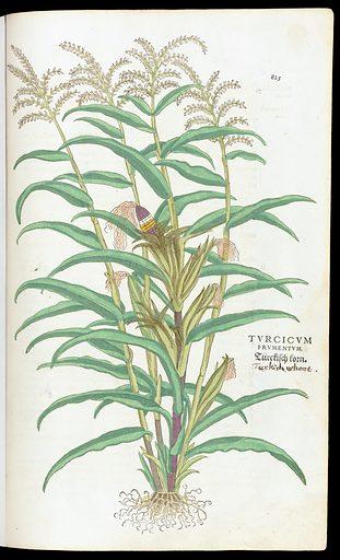 Turcicum plant from 'De historia…'. Turcicum plant from 'De historia stirpivm commentarii insignes … '. Work ID: k7ntxay5.