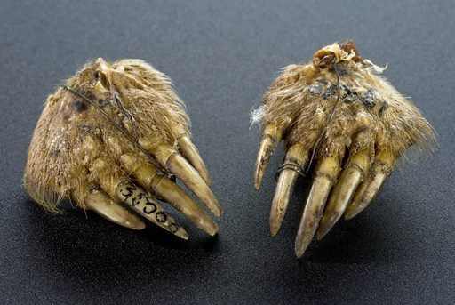 Mole's foot amulet, Norfolk, England, 1890–1910. The growing influence of biomedicine in the 1800s did not necessarily replace established forms of treatment based on belief and superstition. What could be referred to as folk medicine – customs that often went back generations – continued to be practised. For example, carrying a mole's forefoot in a pocket as an amulet to prevent cramp is a medical tradition specific to the East Anglian region of England. The feet were either hacked off a mole or bought from a shop. Mole foot. Contributors: Science Museum, London. Work ID: wuass8ed.