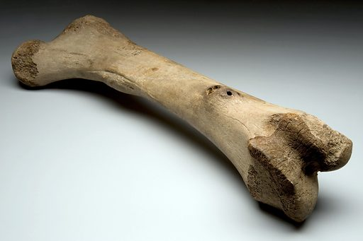 Left femur of extinct elephant, Alaska, Ice Age. Disease has a very long history on Earth. From an extinct species of elephant – possibly a mammoth – this long leg bone measuring just under a metre shows two bone cysts. The bone dates from the Pleistocene Ice Age (11,500 to 18 million years ago). Contributors: Science Museum, London. Work ID: e9d6zpg8.