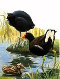 Birds of our Lakes and Rivers: Coot and Moorhen