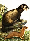 Polecat and stoat