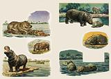 Peeps Into Nature: The Hippopotamus