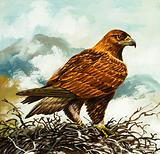 Golden Eagle in its nest