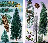 Trees: Douglas Fir and Scots Pine