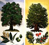 Trees You Can See: Holm Oak & Yew